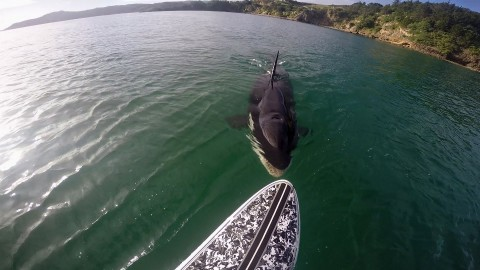 VIDEO: Paddle Boarder Has Incredible Encounter with an Orca