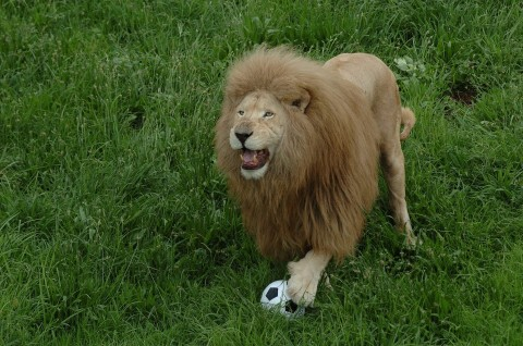 Triton the Soccer Playing Lion Shows That He Can Bend It Like Beckham
