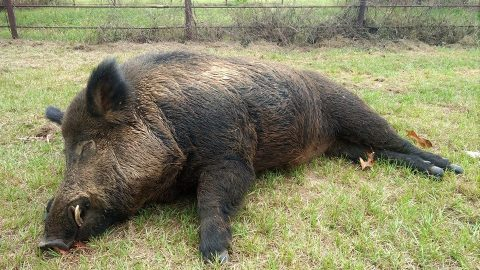 Man Shoots 416-Pound Feral Hog After A Five Year Battle