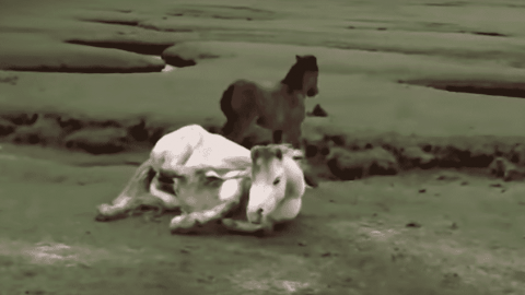 VIDEO: Baby Horse Won't Leave Her Injured Mom's Side During Rescue