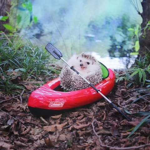 This Tiny Hedgehog Went Camping and the Pictures Basically Make You Sad You Weren't Invited