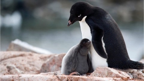 Only Two Penguins Survive Breeding Catastrophe That Left Thousands Dead