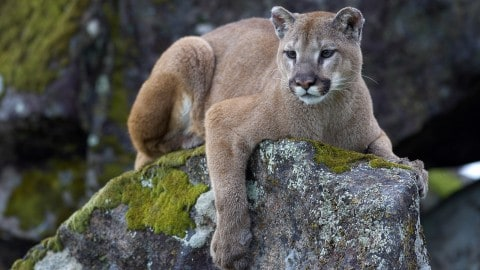 Teen Shoots and Kills Mountain Lion After it Attacks His Farm Animals