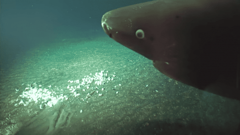 VIDEO: Scientists Spot Massive Pacific Sleeper Shark 4,370-Feet Deep Inside Underwater Volcano
