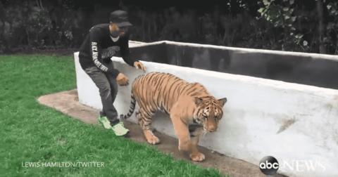 F1 Driver Lewis Hamilton Sneaks Up On A Tiger And Scares It