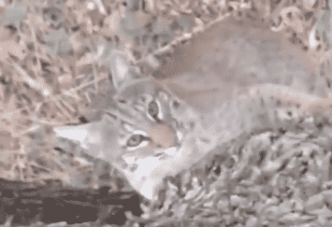 VIDEO: Bobcat Tries To Climb Up To Hunter In Tree Stand