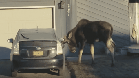 VIDEO: This Angry Moose Shows Prius Owner How Much He Hates Her Car