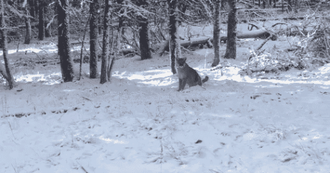 Hunter Discovers Sneaky Mountain Lion Right Behind Him After He Had An Eerie Feeling