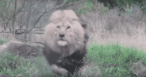 VIDEO: Feasting Lion Turns His Attention Toward Unsuspecting Photographer