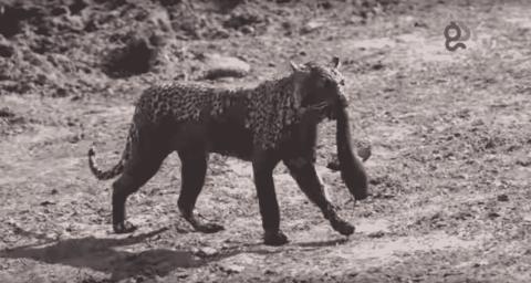 Rare Footage Shows Savuti Leopard Catch A Catfish