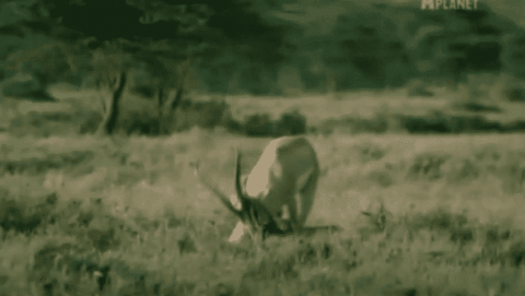 VIDEO: Gazelle Turns The Tables On Attacking Cheetah And Kills It