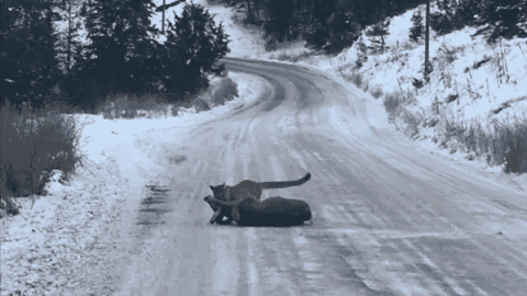 Mountain Lion Blows Past Hunter, Taking Down A Deer He Had Been Watching