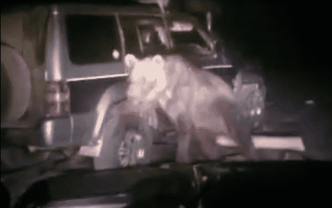 Bear Goes On A Rampage After Getting Hit By An SUV And Digging Himself Out