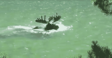 VIDEO: This Bull Moose Is Basically A Submarine With Antlers