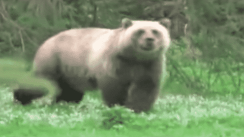 VIDEO: Camera Man Gets Charged By Two Grizzly Bears At Once