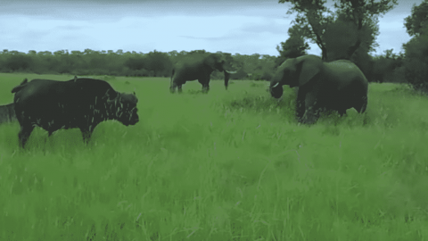 Video: Elephant Kicks Cape Buffalo In The Head And Gets Charged