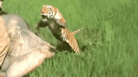 Watch A Tiger Appear Out Of Nowhere As It Jumps And Attacks Guy Riding An Elephant