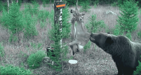 VIDEO: Persistent Grizzly Bear Won't Stop Until He Can Eat Electric Deer