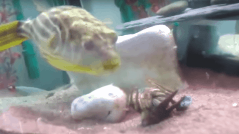 VIDEO: Pufferfish Goes On Rampage After Getting Pinched By Shrimp
