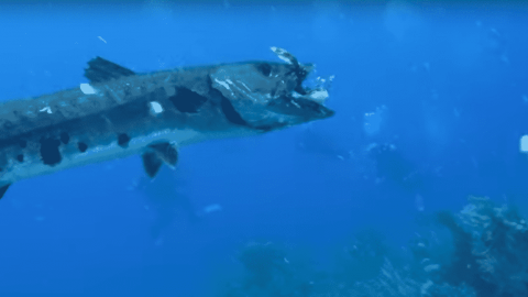VIDEO: Barracuda Eats The Lionfish A Diver Just Speared