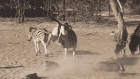 VIDEO: Zebra Kicks The Crap Out Of A Warthog That Tried To Skip The Line