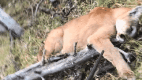 VIDEO: Hunter Takes Down Mountain Lion After It Attacked From 5 Yards Out