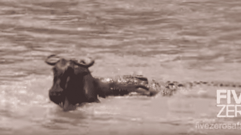 VIDEO: Crocodile Catches A Wildebeest During The Great Migration River Crossing