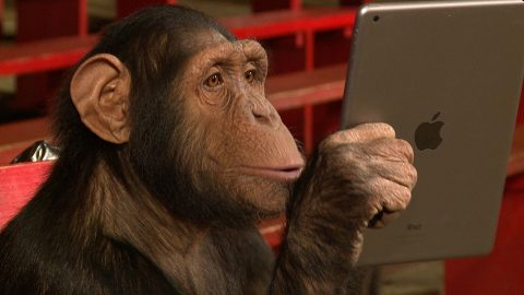 Video: These Chimpanzees Really Like iPad Magic