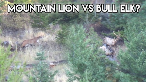 VIDEO: Hunter Spots Mountain Lion Stalking Two Bull Elk