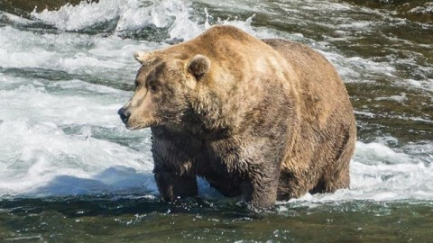 Otis The Bear Claims 'Fat Bear Championship' For Second Year In A Row