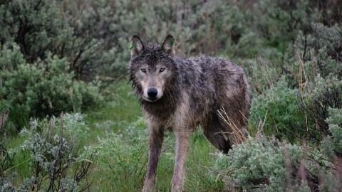 First Time In This State: Hunter Shoots Wolf In Self Defense