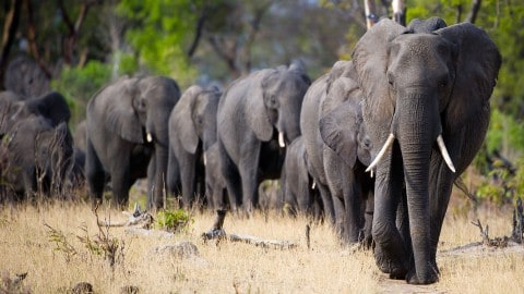 Trump Allows Import Of African Elephant Trophies After Ending Obama Administration Ban