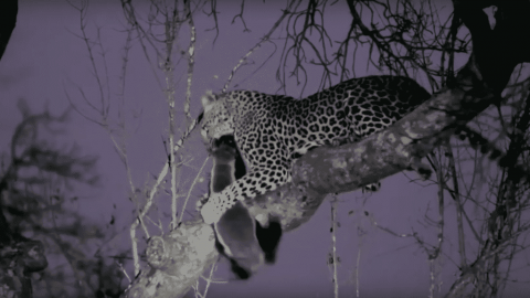 VIDEO: Honey Badger Shows No Signs Of Giving Up After Leopard Drags It Up A Tree