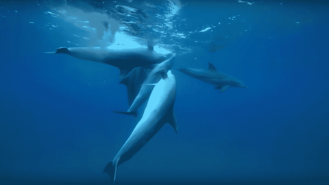 VIDEO: Dolphins Chew On Pufferfish To Get High