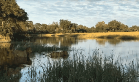 VIDEO: Crocodile Attacks Two Lions Attempting To Cross A River