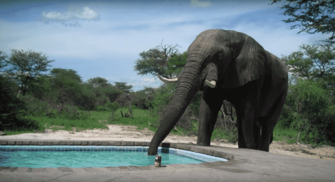 VIDEO: Elephant Crashes Pool Party For A Drink