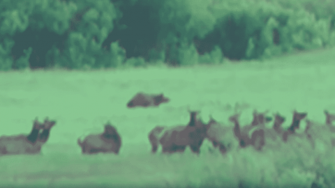 VIDEO: Mama Grizzly Bear Gives Cubs A Lesson On Running After Elk