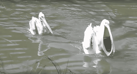 Watch Pelican Fail Miserably At Trying To Eat A Duck