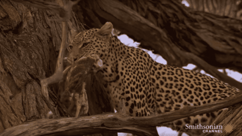 VIDEO: Leopard Launches 30 Feet Up A Tree To Catch Owls