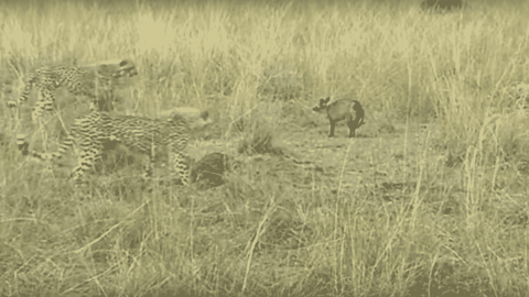 VIDEO: Cheetahs Can't Figure Out What To Do With This Aggressive Fox