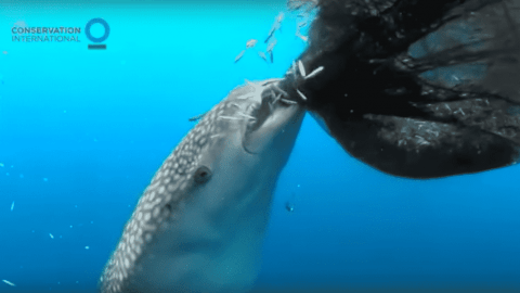 VIDEO: Whale Shark Goes Straight To The Source As It Eats Fish Right Out Of The Net