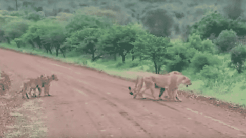 VIDEO: Lion Prides Collide And It Isn't Pretty