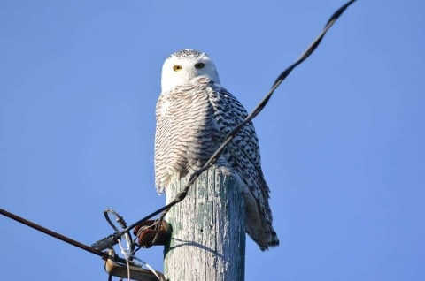 Great Lakes Expect Massive Flocking Of Snowy Owls This Winter