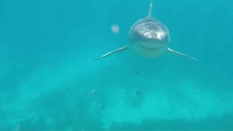 VIDEO: Snorkeler Comes Face To Face With Great White Shark