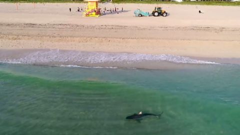 VIDEO: Drone Captures Tiger Shark Weaving Between People Along Shore