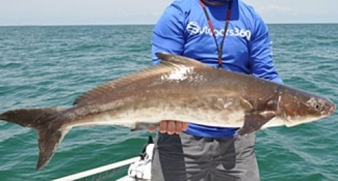 FWC Announces New Regulations For Cobia In The Gulf
