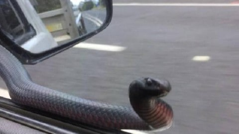 Viral Photos Show Red-Bellied Black Snake Hitching A Ride While Tapping On Car Window