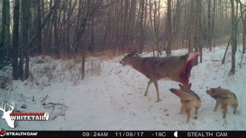 Coyotes Brutally Kill Trophy Buck In Graphic Trail Cam Pictures
