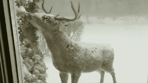 VIDEO: Hungry Buck Isn't Going To Let A Snow Storm Stop Him From A Meal