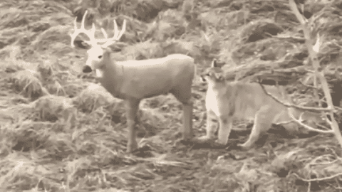 VIDEO: Mountain Lion Stalks Deer Decoy And Is Incredibly Confused